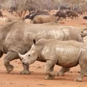Cien rinocerontes caen mensualmente en Sudáfrica