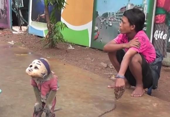Monos entrenados para mendigar