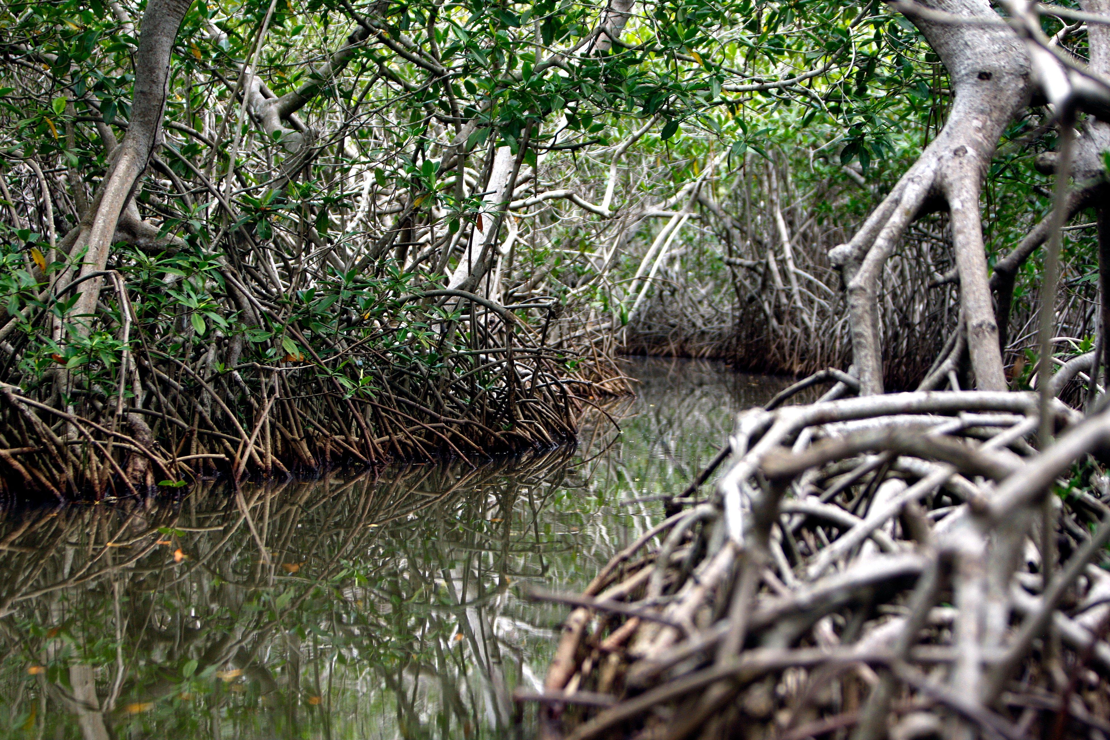 El verdadero espíritu del manglar vive en Fredonia