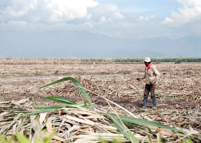 Verdades y mentiras sobre el cultivo de caña en Colombia