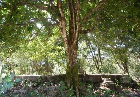 El Árbol Historiador