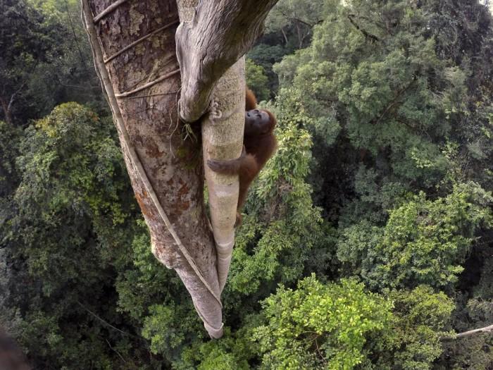 La imagen se ha llevado el primer premio en la categoría de Naturaleza, apartado de Historias. En ella se ve a un orangután de Borneo a 30 metros de altura en el parque nacional de Gunung Palung, Indonesia. TIM LAMAN (TIM LAMAN)