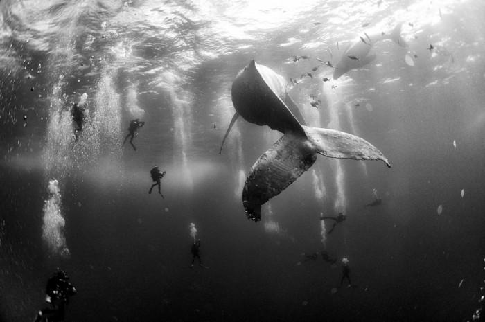 Imagen captada por el fotógrafo mexicano Anuar Patjane Floriuk que ha sido galardonada con el segundo premio Nature (Naturaleza) y muestra a un grupo de submarinistas junto a una ballena jorobada y su cría en aguas de Roca Partida, en las islas Revillagigedo, México, el 28 de enero de 2015. ANUAR PATJANE FLORIUK (EFE)