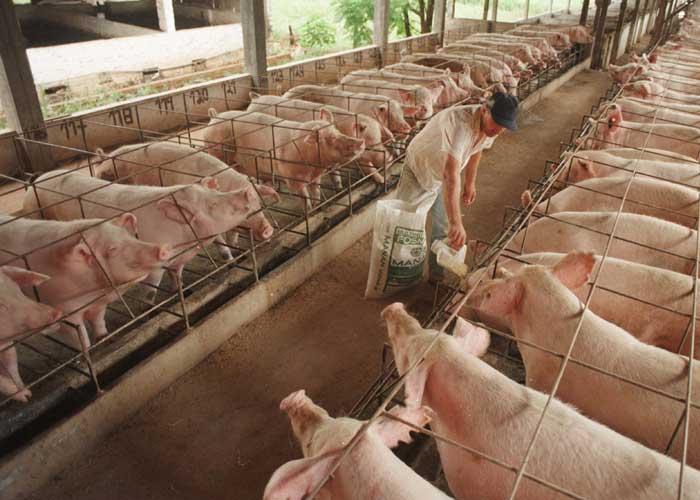 Crisis en el gremio porcicultor del oriente de Antioquia