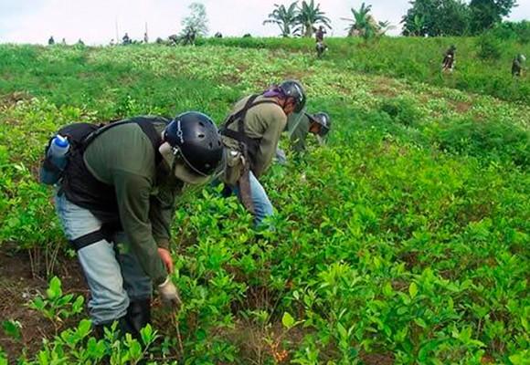 En video: Por qué sembrar coca es un buen negocio para un campesino