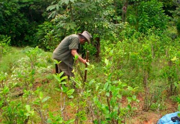 En el Catatumbo sembramos coca porque nos toca