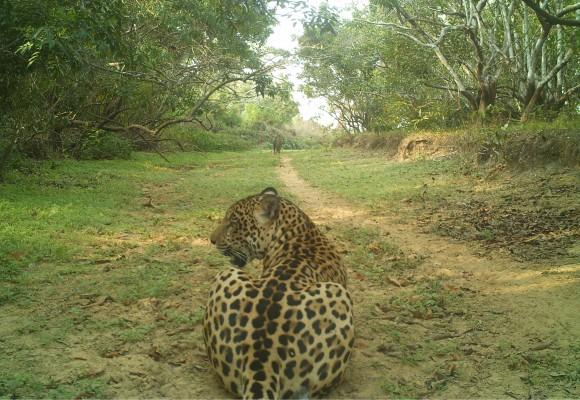 Hato La Aurora y su convivencia con el jaguar