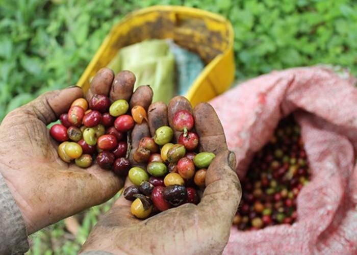 Las manos se convierten en la muestra del esfuerzo viviente del campesino colombiano, que ama lo que hace.