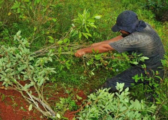 Video: A punta de coca, campesinos sobreviven al olvido del Estado