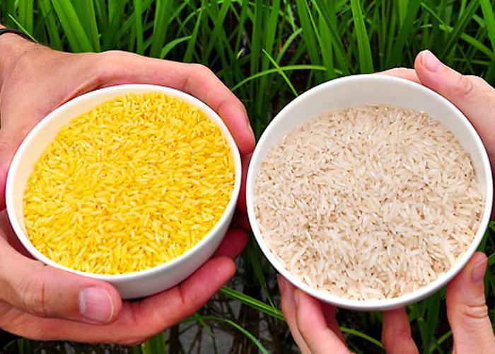 Algunas preguntas sobre el arroz dorado, Greenpeace y los transgénicos