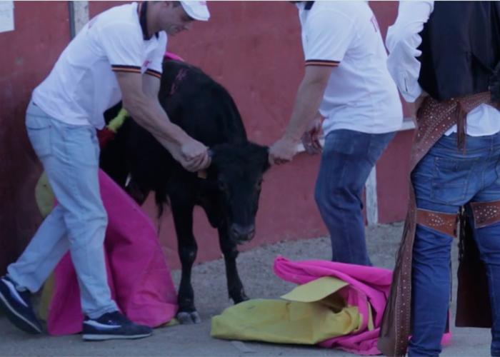 Video: Torturando becerros es como los toreros aprenden su arte