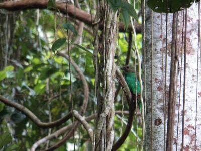 pavonine quetzal hembra