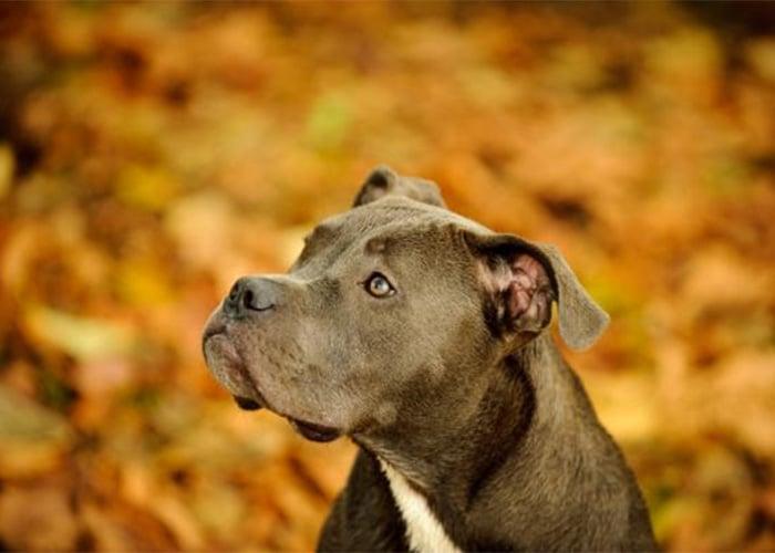 Pit bull, los mejores perros del mundo