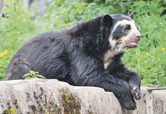Condena a un ganadero por la muerte de un oso de antejosos