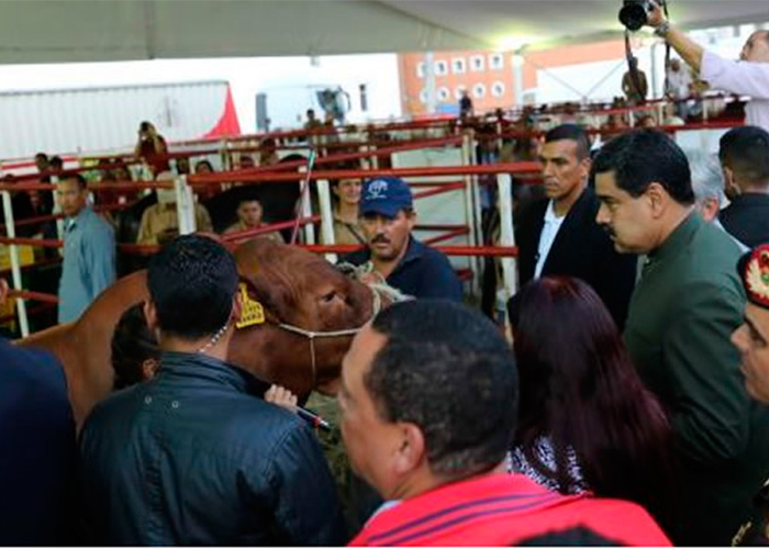 Vídeo: Maduro le habla a dos vacas buscando apoyo para la Constituyente