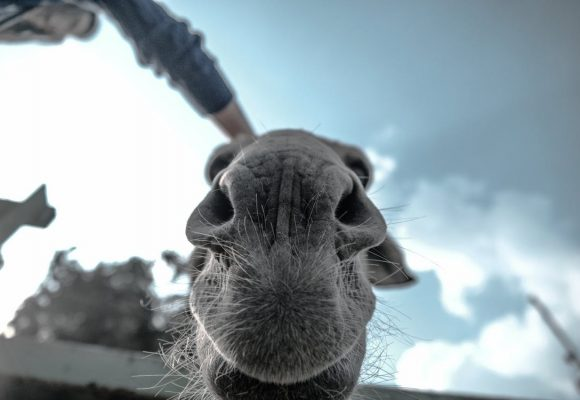 El burro que se negó a ir a América