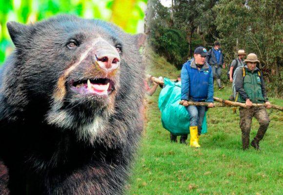 La excusa que ha salvado de la cárcel al campesino que mató al oso de anteojos