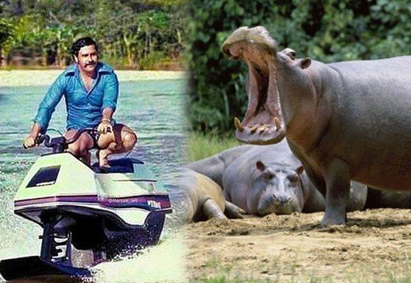 El terror que causan en el Magdalena Medio los 50 hipopótamos de Pablo Escobar
