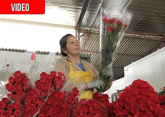VIDEO: En San Valentín, 600 millones de flores colombianas conquistan Estados Unidos