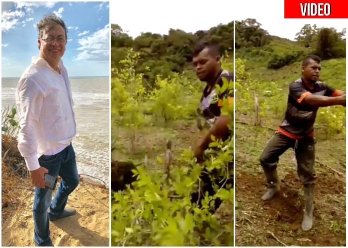 Por Petro, campesinos paisas arrancan todas sus matas de coca