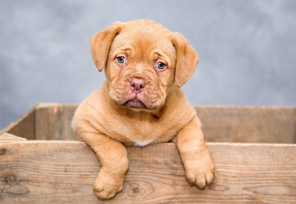 Falla cardíaca, una enfermedad incurable en los perros