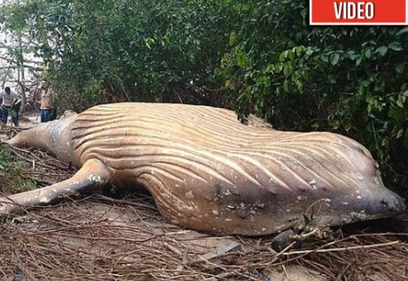 [VÍDEO] En plena selva del Amazonas apareció una ballena jorobada