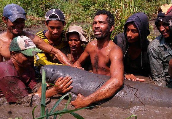 Cuatro manatíes salvados de las garras de las petroleras en el sur del Cesar