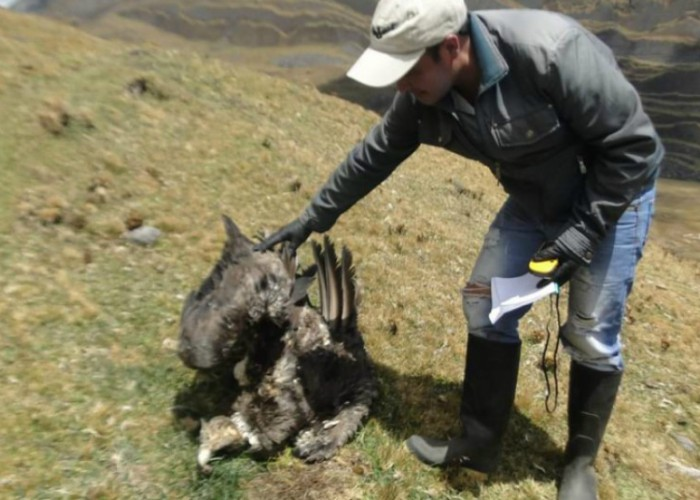 Sigue la matanza de cóndores en Colombia