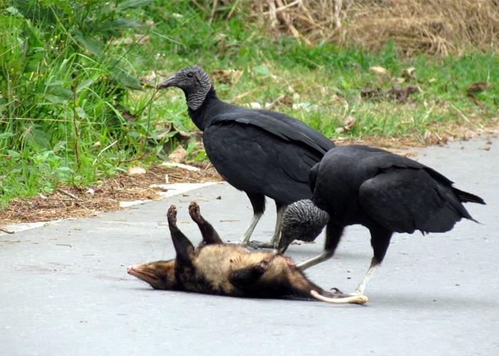 Atropellamiento, el asesino silencioso de la fauna silvestre en colombia