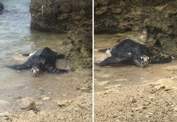 Por qué están muriendo las tortugas Caná en el golfo de Urabá