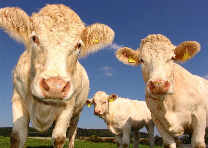 Seis cosas que hay que saber sobre los parásitos en bovinos