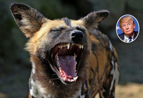 ¿Estados Unidos, un jaguar? No, es una hiena