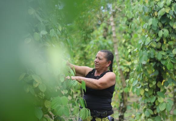 La pimienta con aroma a paz que se cultiva en las entrañas de La Hormiga, Putumayo
