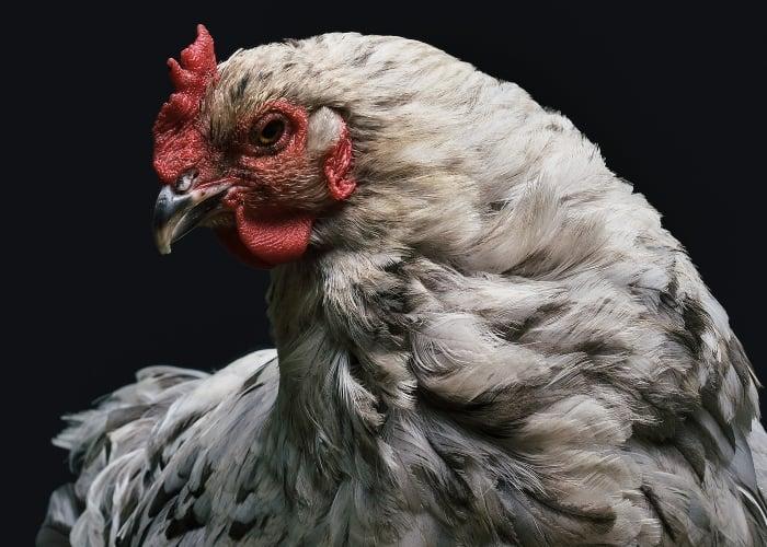 Polvo e' gallo