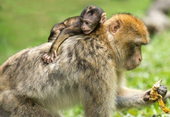El mono no levanta mona