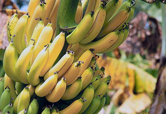Alarma por hongo que ya afecta 150 hectáreas de banano