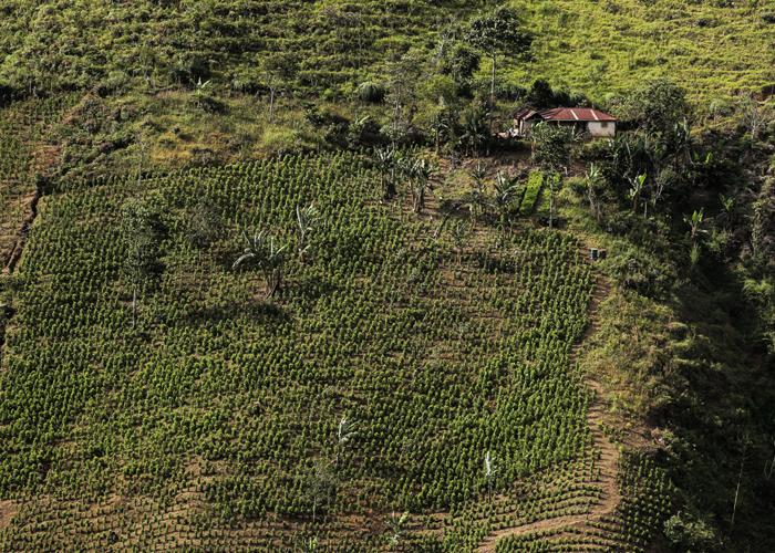 Cultivos de coca, el verdadero cáncer de Colombia