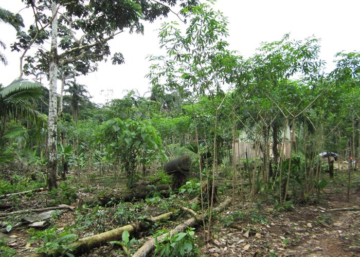 La selva amazónica ya tiene la soga en el cuello, solamente falta correr la butaca