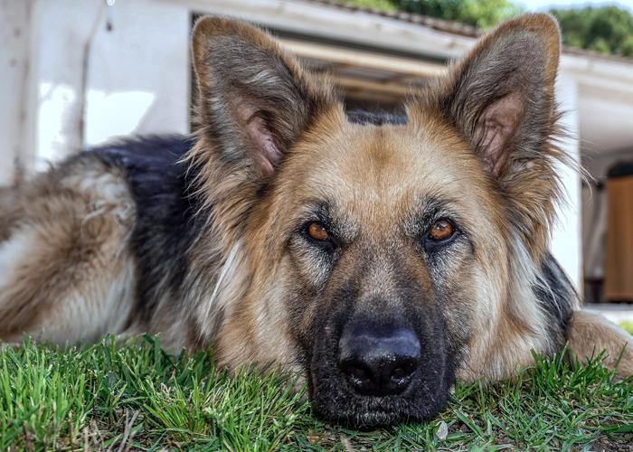 Osteoartritis canina, el doloroso padecimiento que podría afectar a su mascota