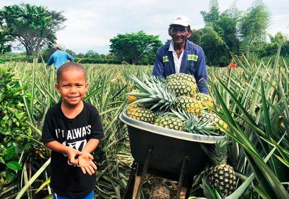 La fruta dorada que da de comer a agricultores del Cauca
