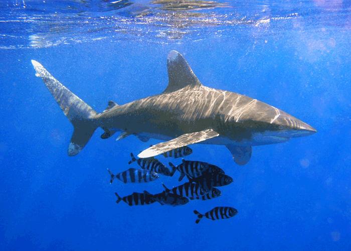 Caza de tiburones en Colombia: de noticias virales y oposición crítica