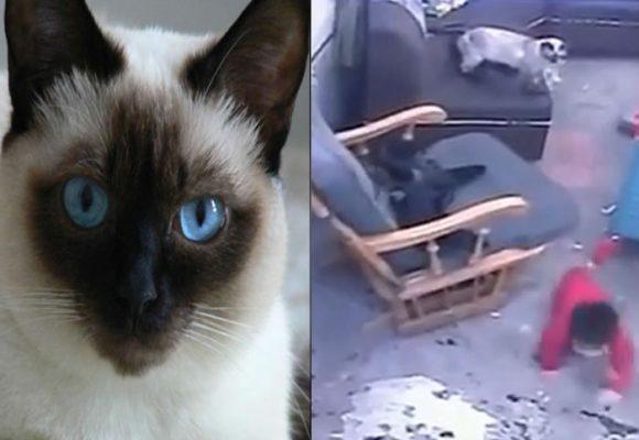 Esta gata salvó a un niño en Bogotá