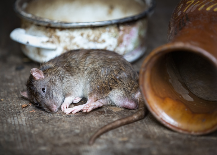 El día que en Locombia acabaron con las ratas