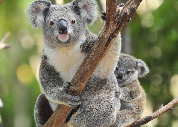 ¿Desaparecerán los koalas?