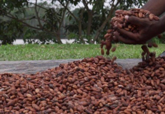 El cacao le gana la batalla a la coca en Tumaco