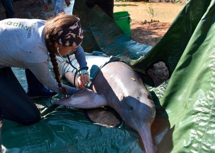 Agonizan los delfines rosados en la Orinoquía