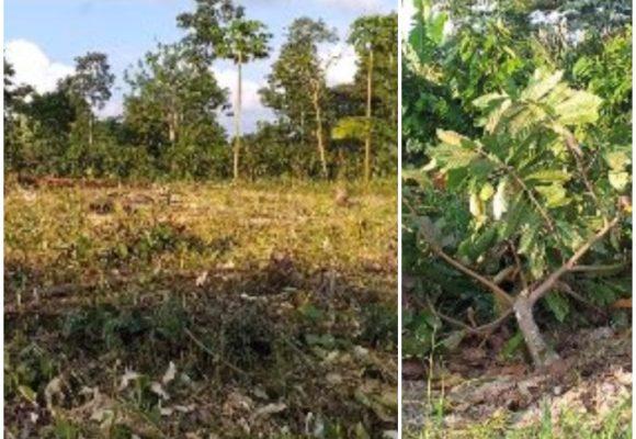 Por abrirle pista a un helicóptero, Ejército destruyó 500 matas de cacao en Tumaco