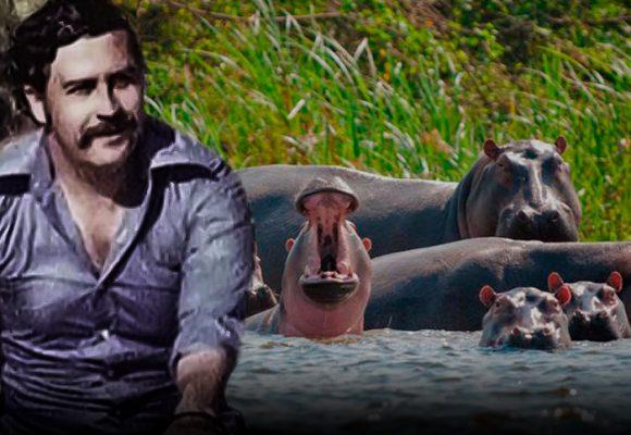 La maldición de los hipopótamos de Pablo Escobar