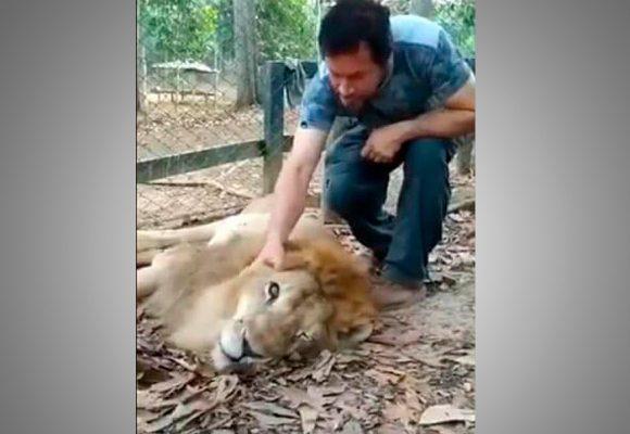 A pesar de los esfuerzos el león júpiter está muriendo