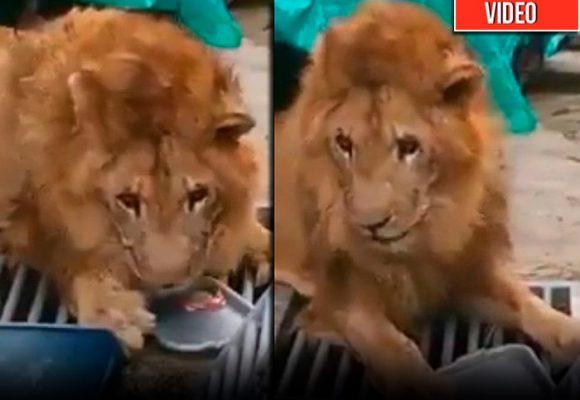 ¡Se salvó Jupiter, el león más querido de Colombia!